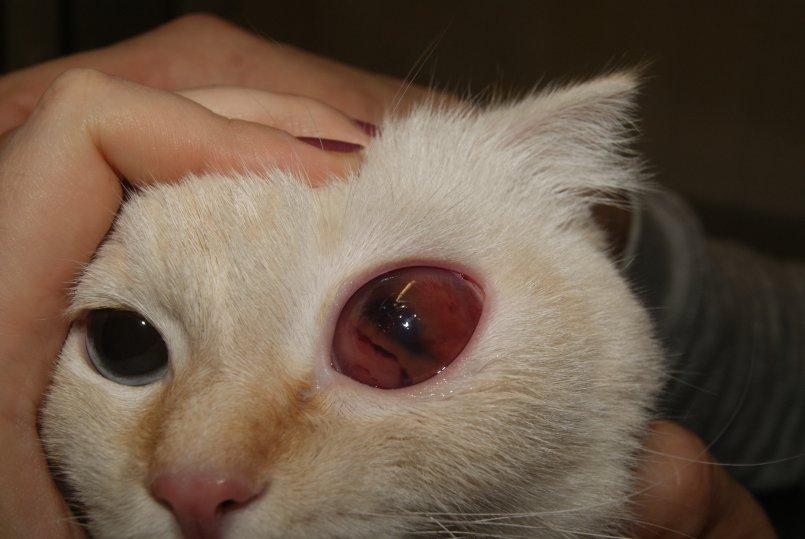 Покраснение век у кошек
