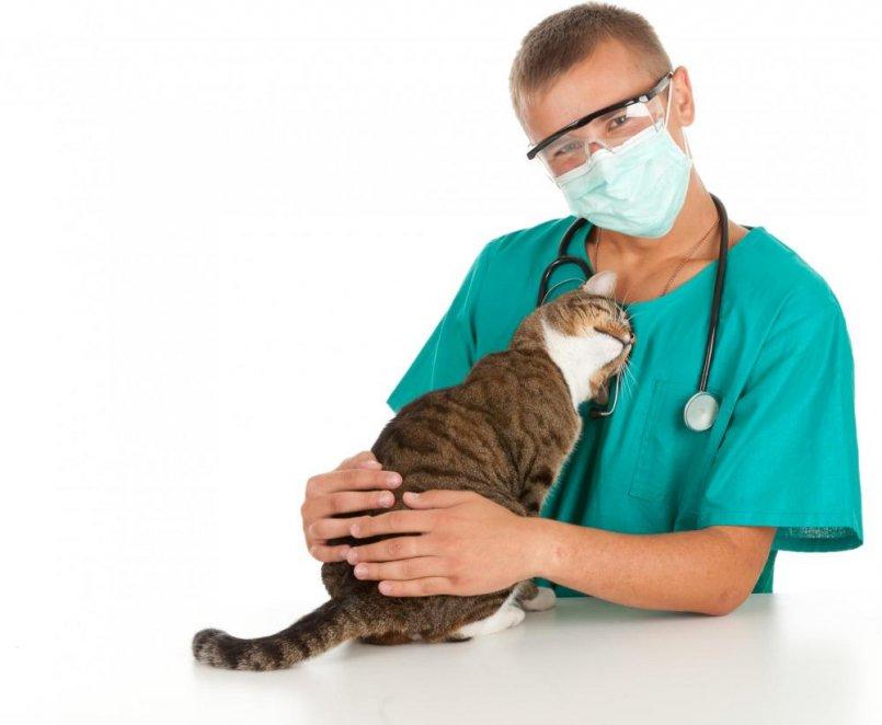 кот сдает анализ крови