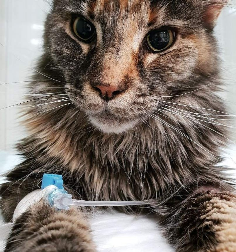 Признаки анемии у кошки