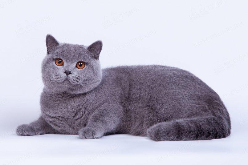 фото желтой британский короткошерстный котенок фото нуля, потратите