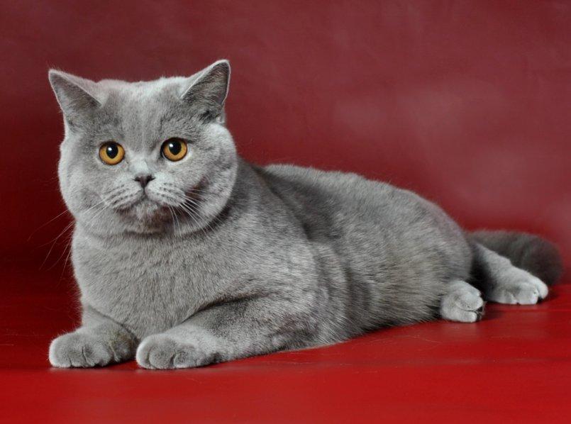 качестве реквизита кошки фото красивые британцы этом