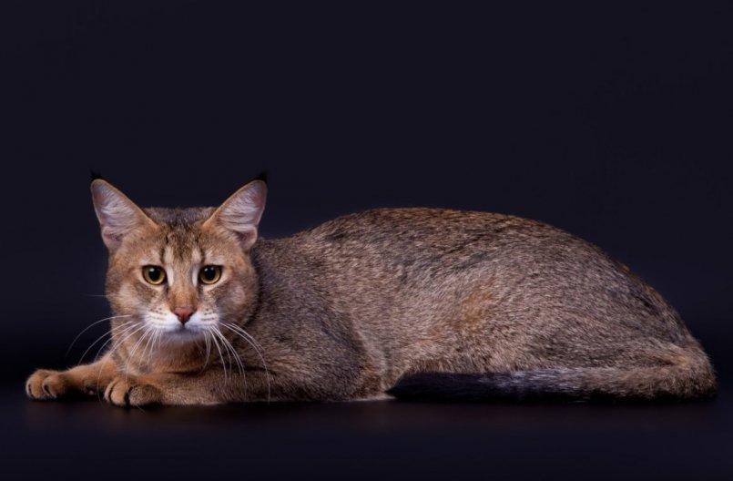 Чаузи - изящная и независимая порода кошек