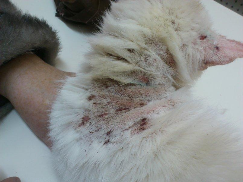 У котенка дерматит фото