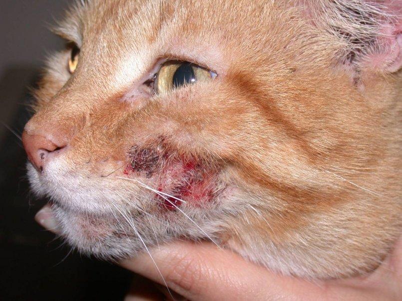 Экзема у кошек милиарный дерматит