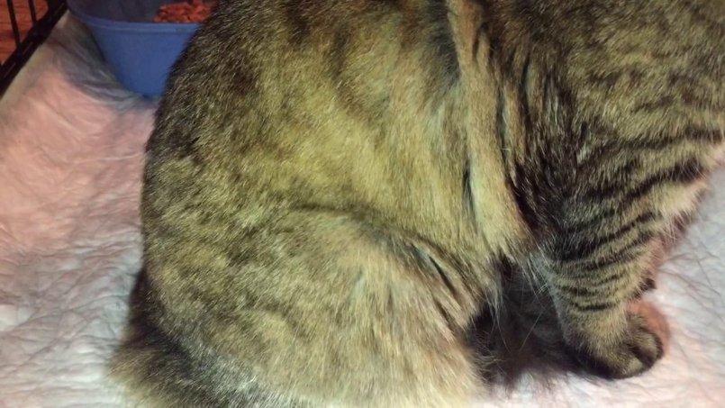 Как выглядит грыжа на животе у кошки фото thumbnail