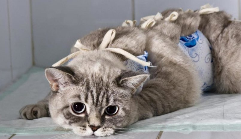 Грыжа у кота фото