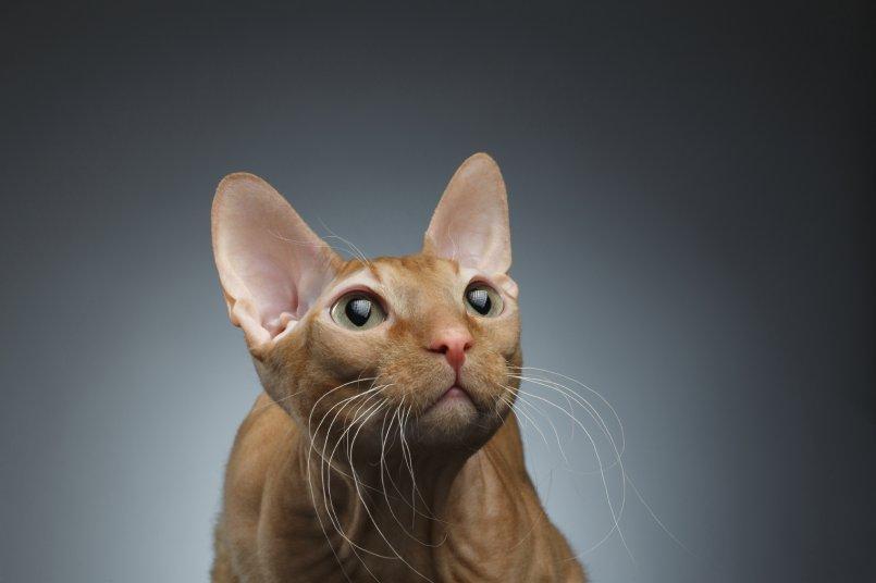 Как и чем чистить уши кошке
