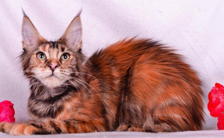 кошки с кисточками на ушах фото одна самых больших