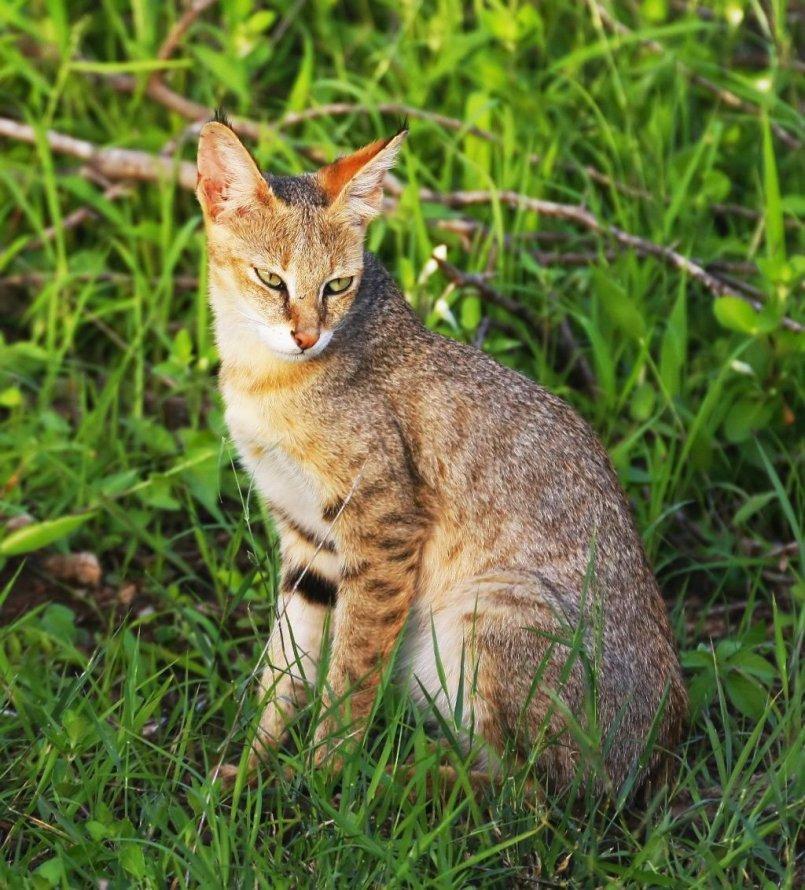 Картинка камышового кота