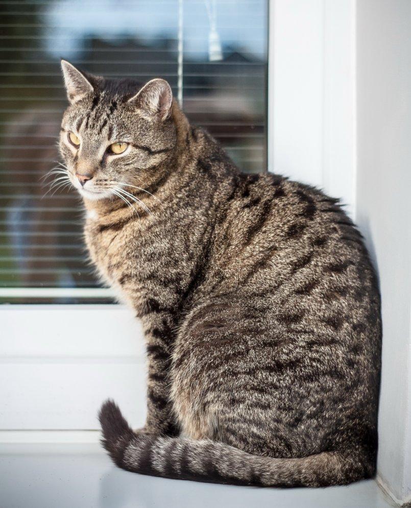 фото серые большие коты что