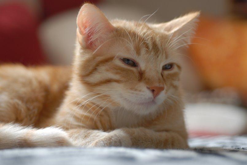 Кельтская порода кошек описание thumbnail