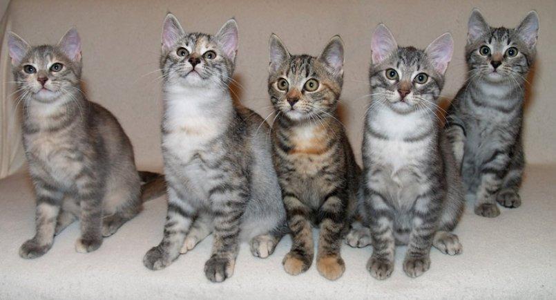 Кельтская порода кошек описание