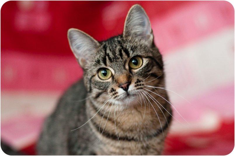вошел европейская короткошерстная кошка картинка приступаю