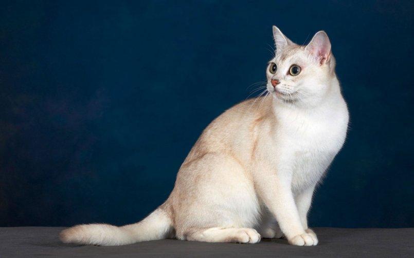 Кошка породы бурмилла: 100 фото и видео описание неприхотливой в уходе кошки
