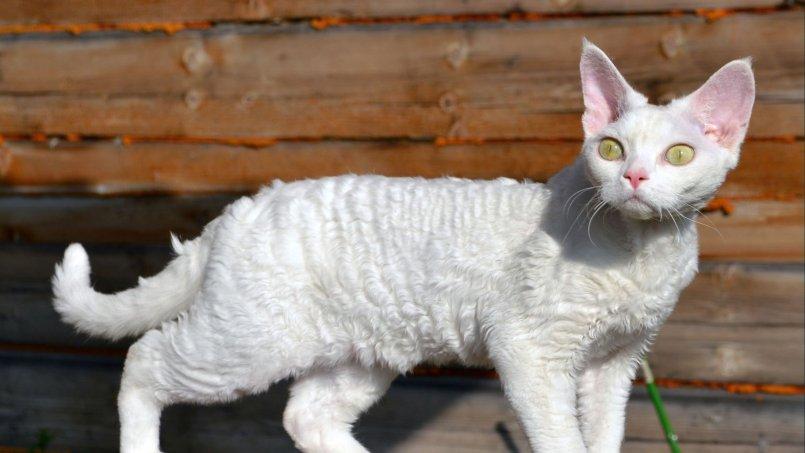 Кошачьи блохи – фото и описание