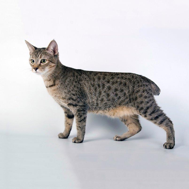 меня фото пиксибоб кошек отвели музей, рассказали