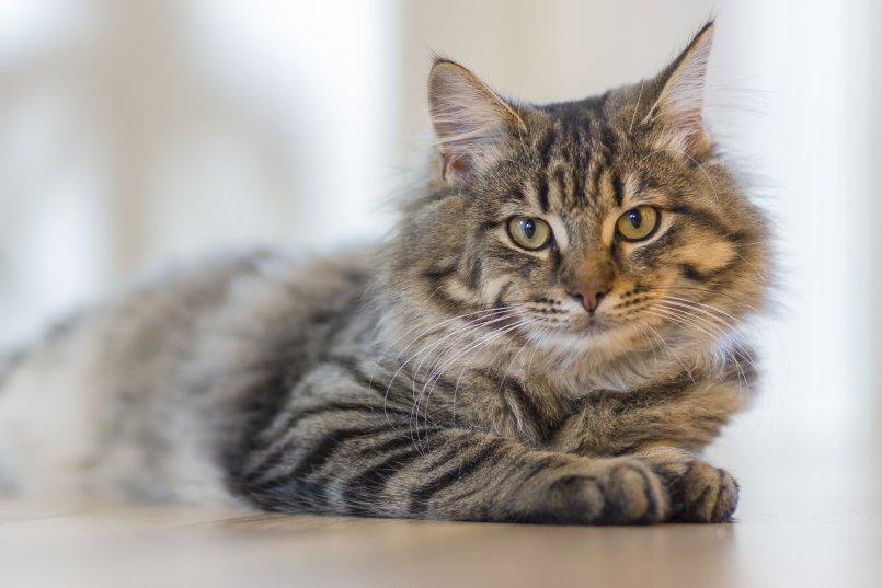 Ложная беременность у кошки как избежать осложнений
