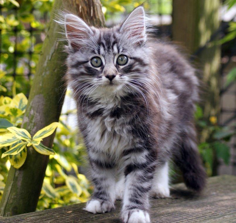конкретным лесная скандинавская кошка фото пузикова-младшего работал агрономом