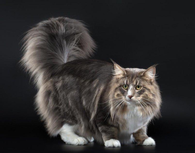 Норвежская лесная кошка: питание, уход в домашних условиях