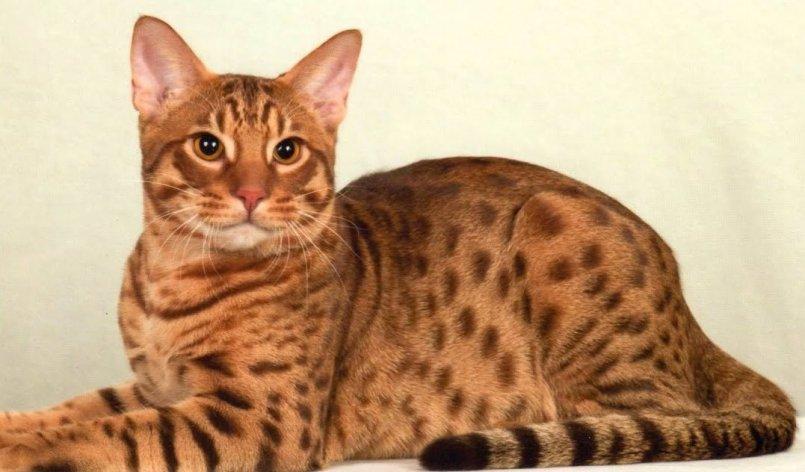 Кошки оцикет: описание породы и история происхождения, характер и содержание