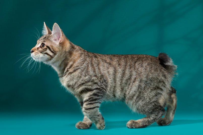 это картинки кошки бобтейлы одной