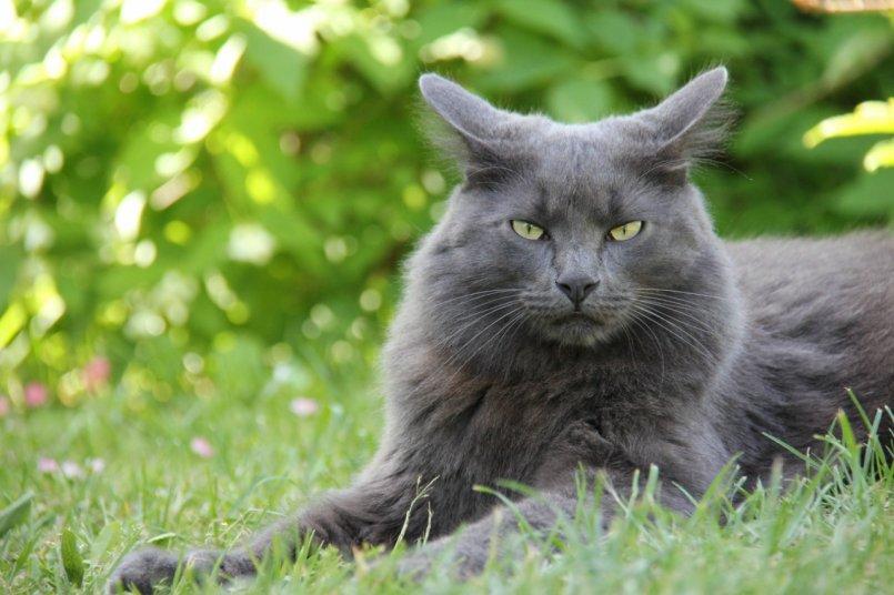русская голубая длинношерстная кошка фото нас