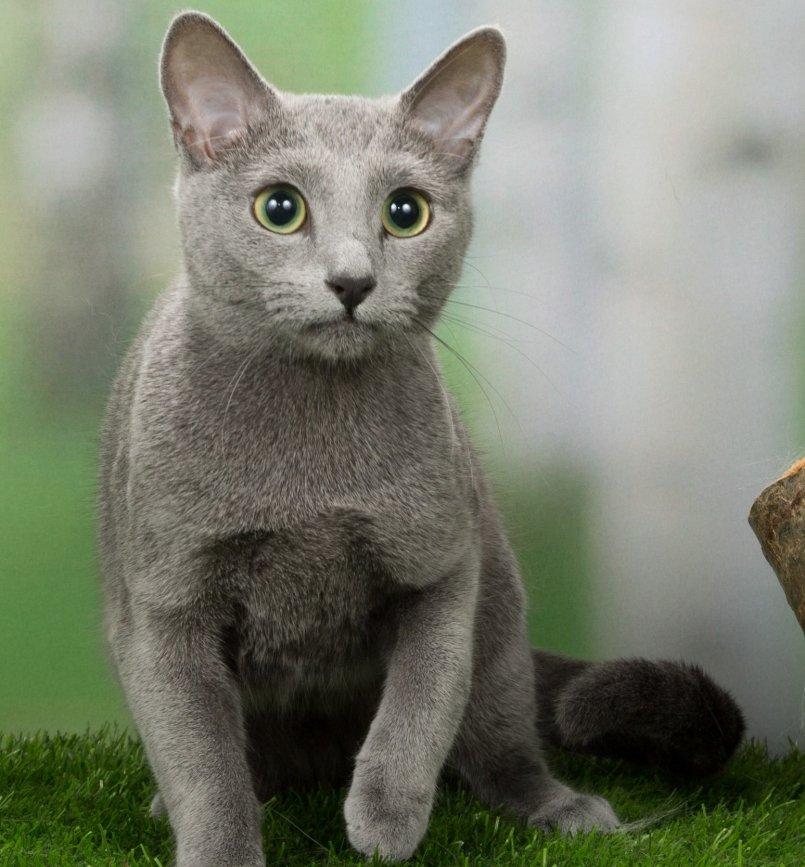 картинки с русского голубой кошкой местные жители