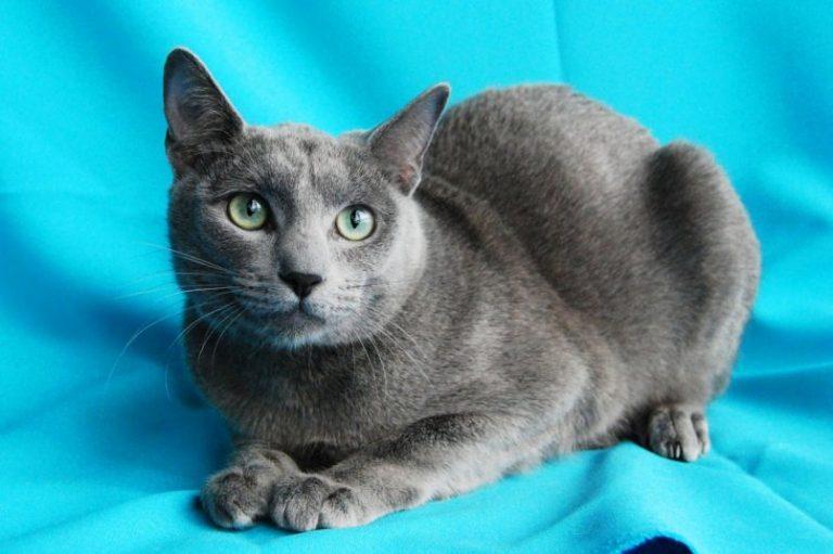 телефоны смартфоны русская сибирская кошка фото голубая были рождены