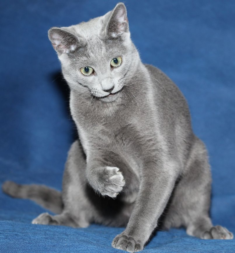 Русская кошка фото картинка
