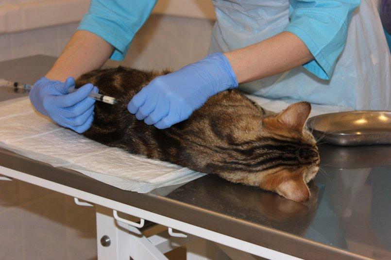 У кота шишка на голове под кожей твердый шарик