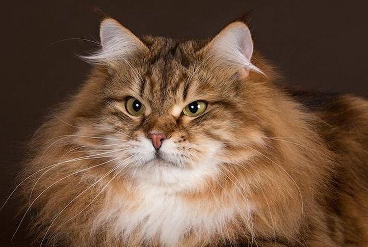 то, что сибирские кошки фотографии мне