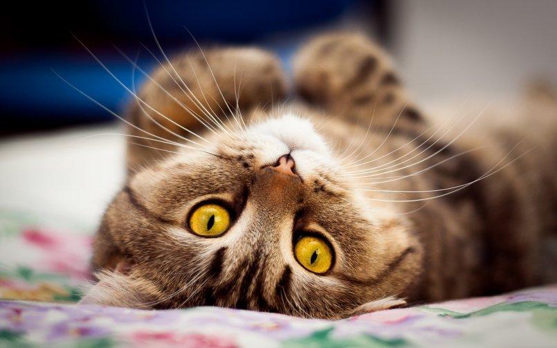 Сколько длится беременность у кошек, шотландской, вислоухой