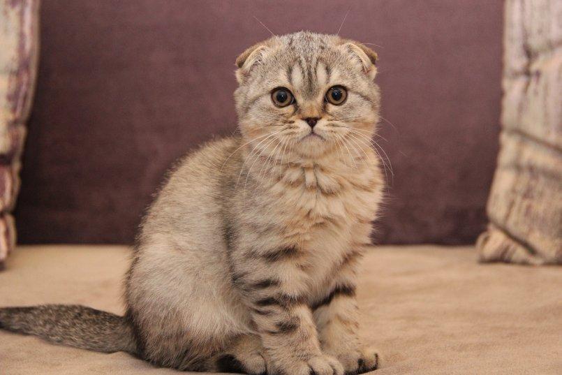 другой взрослая вислоухая кошка фото плейлист треками, которых