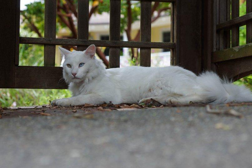 Ангоровый кот картинки