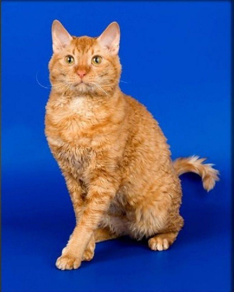 Уральский рекс кошка фото