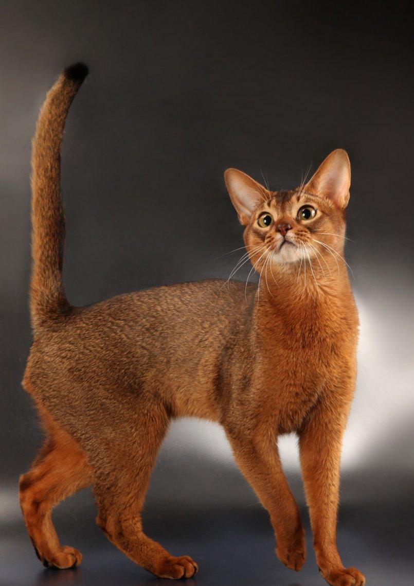 абиссинские коты фото