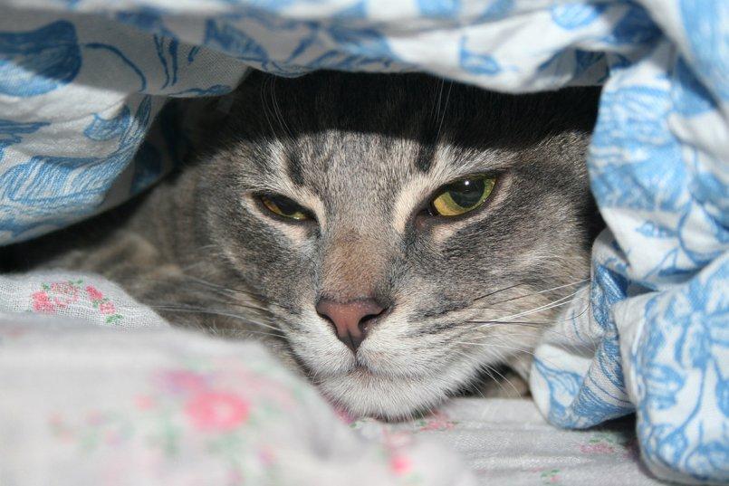 Гепатит у котов