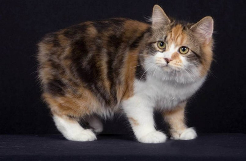 Кимрик Уэльская кошка