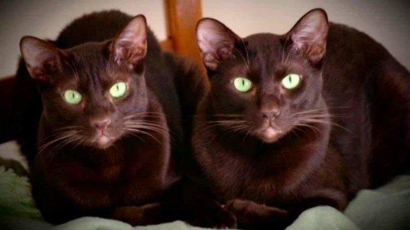 Кошка гавана браун - Наши лапки