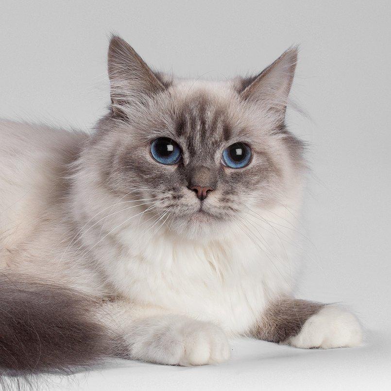 Невский-маскарадный кот картинка