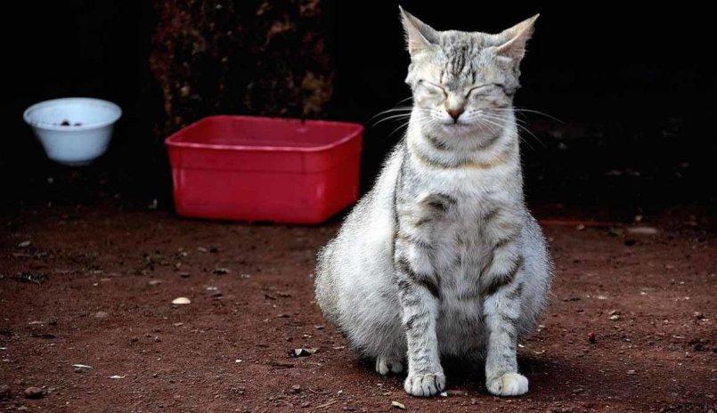 Асцит у кошек: 105 фото и видео процесса лечения брюшной водянки у кошек
