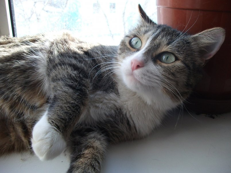 Меланома опухоль у кошек