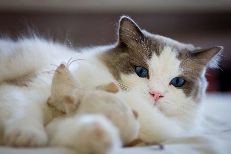 Рэгдолл (60 фото): описание кошек породы рэгдолл, особенности характера котят и взрослых котов. Варианты окраса. Отзывы владельцев