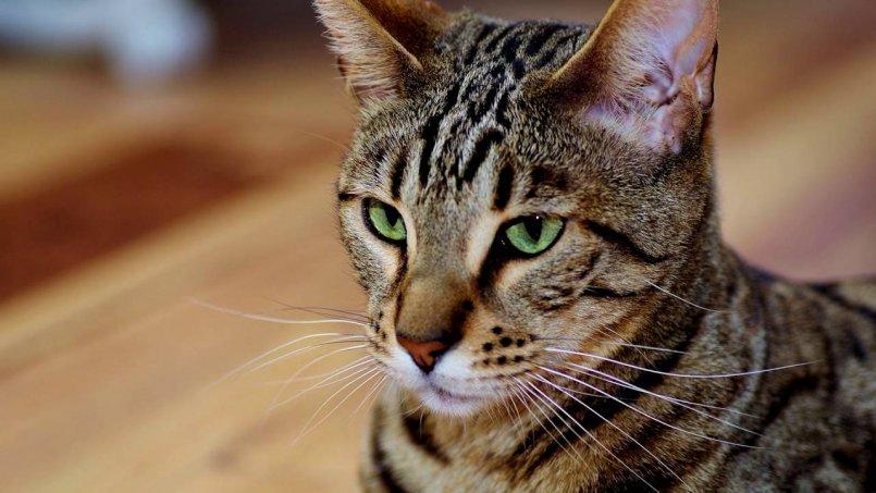 Кошка серенгети домашний сервал