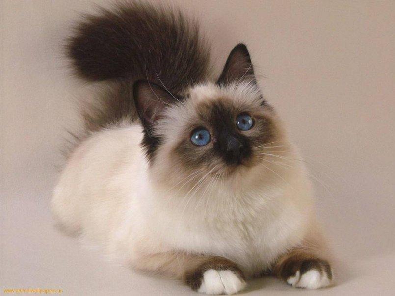 Симптомы трихофитии у кошек Как лечится трихофития у кошек