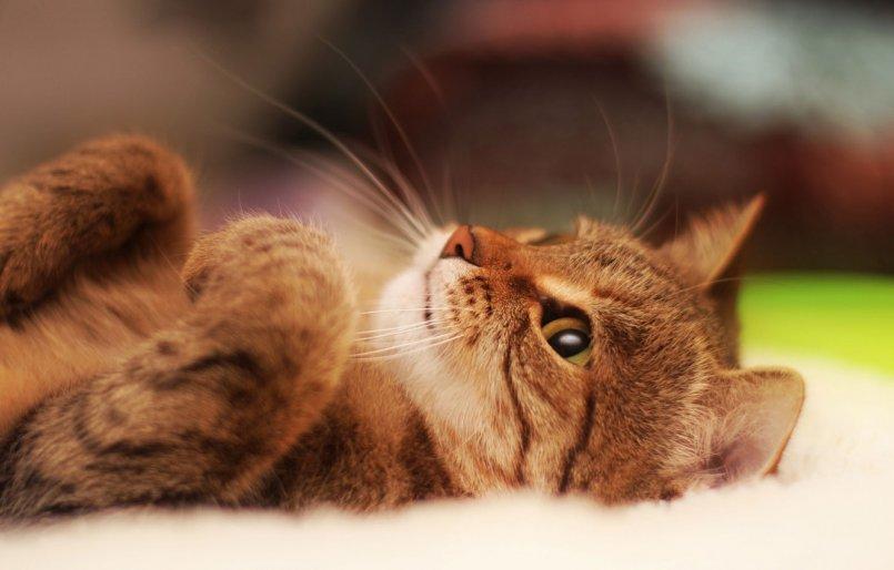 Язвочки у кошки или кота на теле: что делать, причины, лечение